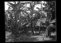 Rural home in a banana grove