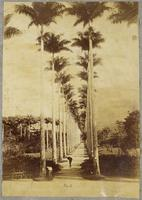 Botanical garden, avenue of palm trees