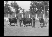 Men showing bulls