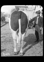 Man showing a cow