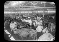 Cattle in a barn