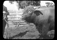 Man showing a bull