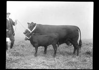 Man showing a cow and calf
