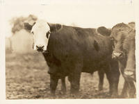 Cattle on a Western farm
