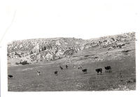 Cattle in the mountains