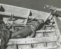Alligator and water moccasin held by trapper